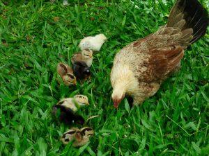 Hina Mauka chicken